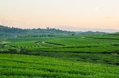 Lantgård och himmel för grönt te Arkivbild