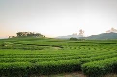 Lantgård och himmel för grönt te Royaltyfria Bilder