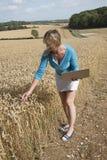 Lantgårdanställd i kvalitets- kontroll för veteåker Arkivfoton