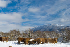 Lantgårddjur i sikt för Navarra vinterlandskap. Arkivbilder
