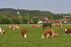 Lantgårddjur, kor och hästar i mitt av bavaria Tyskland Arkivbild