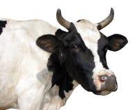 Lantgårddjur - sidosikt av den Holstein kon, 5 gamla år, anseende fotografering för bildbyråer