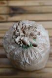 Lantgården för ostronchampinjon arkivfoton