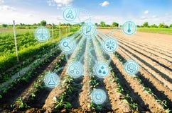 Lantgårdfält av kål unga plantor Innovationer och nya tekniker i den jordbruks- affären Vetenskaplig utveckling royaltyfria foton