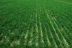 Lantgårdfält med frodigt växa för gröna skördar royaltyfria foton