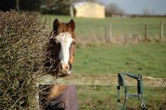 Lantgårdhäst i natur Royaltyfria Foton