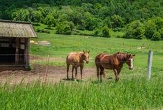 Lantgårdhästar i betar royaltyfri bild