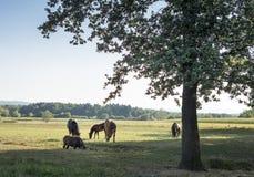 Lantgårdhästar i fältet royaltyfri bild