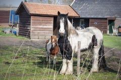 Lantgårdhästar i Nederländerna Royaltyfria Bilder
