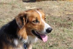 Lantgårdhund i profil Fotografering för Bildbyråer
