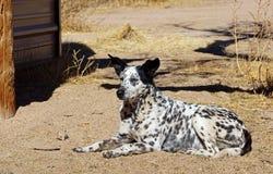 Lantgårdhunden lägger i smutsen royaltyfria foton
