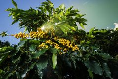 Lantgårdkaffekoloni i Brasilien arkivfoto