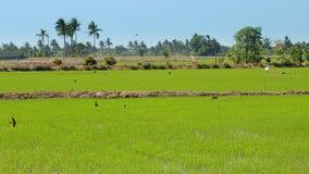 Lantgårdris i Thailand Fotografering för Bildbyråer