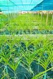 lantgårdorchid Arkivbild