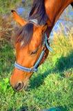 Lantgård för häst Head Fotografering för Bildbyråer