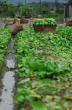 lantgårdgrönsak Royaltyfri Bild