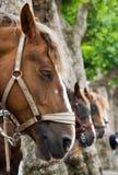 lantlig häst Royaltyfria Bilder
