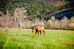 Lantlig häst i fältet Arkivfoto