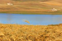 LANTLIG LANDSKAPSOMMAR Mellan Apulia och Basilicata: skördade vetefält Sjö Basentello Poggiorsini - ITALIEN Arkivbild
