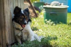 Lantlig liten hund Royaltyfria Bilder