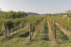 Lantlig medelhavs- trädgård med vingården och fruktträd Royaltyfria Bilder