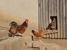 Lantlig plats - hane - hönor - hönshus Arkivfoto