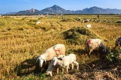 Lantlig plats med en flock av får och bönder på skördade risfält royaltyfria foton