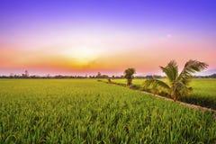 Lantlig risfält i solnedgången royaltyfri bild