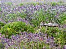 Lantlig trädgårds- konst i lavendelträdgård royaltyfria foton