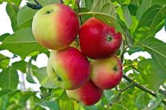 Lantliga äpplen på trädet Gåva icke-arrangerat foto från fruktträdgården Ryssland siberia arkivbild
