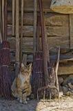 Lantliga Cat Portrait Royaltyfria Foton