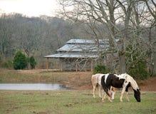 Lantliga hästar Royaltyfria Foton