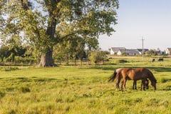 Lantligt beskåda - två hästar, Ukraina sommardag. arkivbilder