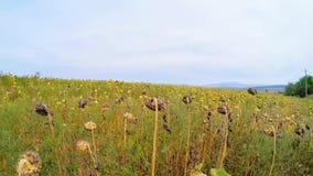 Lantligt fält av torkade solrosor i gräs arkivfilmer