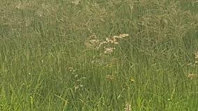 lantligt gräs Arkivfoton
