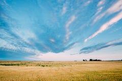 Lantligt landskap av det gula vetefältet på blåa Sunny Sky Background royaltyfria foton