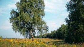 Lantligt landskap för sommar med björken stock video