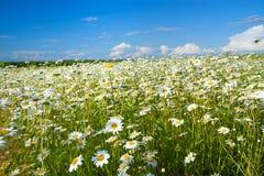 Lantligt landskap för sommar med ett fält och en blå himmel fotografering för bildbyråer