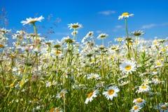 Lantligt landskap för sommar med ett fält och en blå himmel arkivbilder