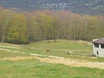 Lantligt landskap, hästar på grön äng nära skogen Royaltyfri Fotografi
