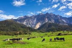 Lantligt landskap med att beta kor och det Kinabalu berget Royaltyfri Fotografi
