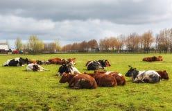 Lantligt landskap med en flock av kor royaltyfria bilder