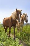 Lantligt landskap med ett par av hästar Royaltyfri Foto