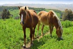 Lantligt landskap med ett par av hästar Fotografering för Bildbyråer