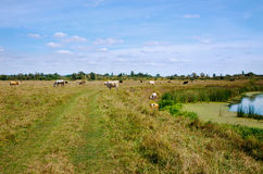 Lantligt landskap med kor och hästar Arkivbilder