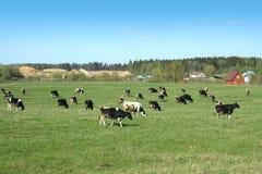 Lantligt landskap med kor på äng i sommar Fotografering för Bildbyråer