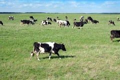 Lantligt landskap med kor på äng i sommardag Fotografering för Bildbyråer