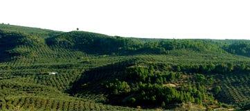 Lantligt landskap med olivträd Royaltyfri Fotografi
