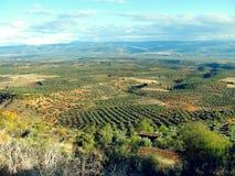 Lantligt landskap med olivträd Royaltyfri Bild