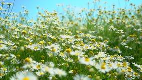 Lantligt landskap på en solig dag i sommar Kamomillfältslut upp mot blå tusensköna blommar skyyellow Härlig naturplats med blomma arkivfilmer